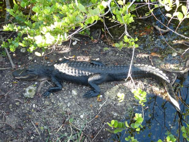 Alligator auf dem Anhinga Trail in den Everglades